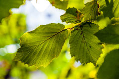 Leaves of a tree in detail Stock Images