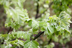 Leaves of the tree with dew. Photo for your design Stock Photos