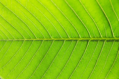 Leaves of tree Royalty Free Stock Photo