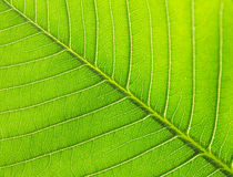 Leaves of tree Royalty Free Stock Photos