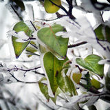 Leaves of a tree with ice. And snow (winter picture Stock Images