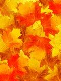 Leaves  tree  maple Stock Photos