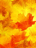 Leaves  tree  maple Royalty Free Stock Images