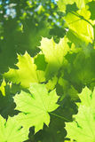 Leaves  tree  maple Royalty Free Stock Photo