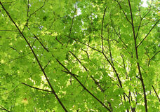 The leaves on the tree. Maple. Royalty Free Stock Images