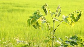 Leaves of tree moving in field, Chiangmai Thailand.  stock footage