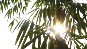 Leaves of tree moving with sunlight, chiangmai Thailand.  stock video footage