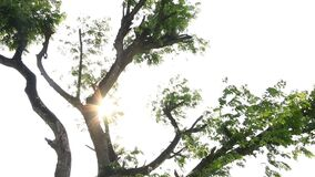 Leaves of tree moving with sunlight, chiangmai Thailand.  stock video