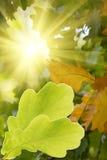 Leaves  tree  oak Stock Photos