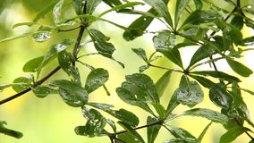 Leaves  of tree  with rain drops , chiangmai  Thailand. Leaves of tree with rain drops , chiangmai Thailand stock video