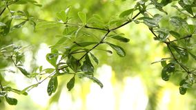 Leaves  of tree  with rain drops , chiangmai  Thailand. Leaves of tree with rain drops , chiangmai Thailand stock footage