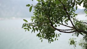 Leaves on a tree in the rain. Spring rain in Montenegro.  stock video footage
