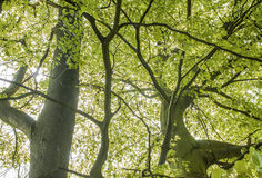 Leaves. Tree leaves shiny with sunlights from the back Royalty Free Stock Photography