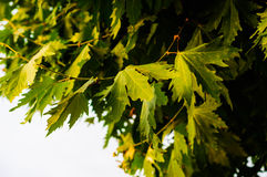 Leaves Of A Tree In Summer Stock Photos