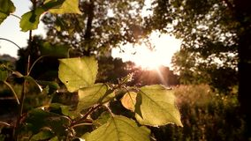 Leaves of tree in sunlight. Bright sun and nature. Silence is priceless. Rest for body and soul stock footage