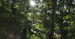 Leaves on the tree swaying in the wind in the sun. The leaves on the tree swaying in the wind in the rays of the sun backlit stock video footage