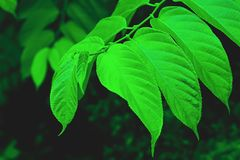 The leaves of the tree Royalty Free Stock Photos