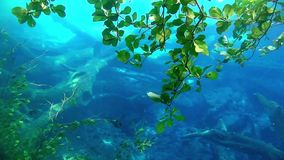 Leaves of a tree underwater. Many leaves hanging from a tree into the water stock video
