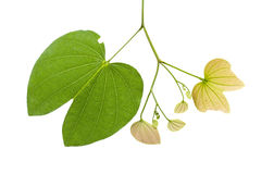 Leaves of a tree on a white background. Royalty Free Stock Photography