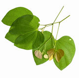 Leaves of a tree on a white background. Stock Photos