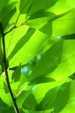 Leaves  tree  willow Royalty Free Stock Images