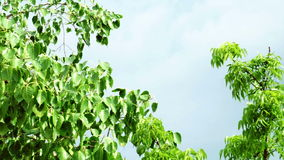 The leaves of the tree that the wind blew very violently because of storm. Space for text stock footage