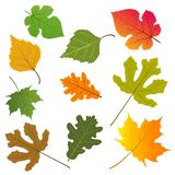 The leaves of trees. Vector illustration of the leaves of trees: birch, maple, oak, mulberry, fig Royalty Free Stock Image