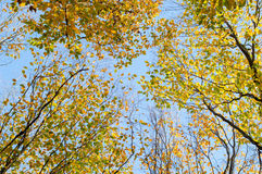 Leaves of the trees against the blue sky in autumn Royalty Free Stock Images