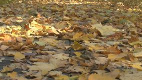 Leaves of the trees on earth. Autumnal leaves on the ground stock video