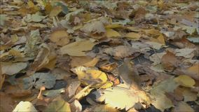 Leaves of the trees on earth. Autumnal leaves on the ground stock video footage