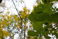 The leaves of the trees fall. The leaves of the trees in the forest fall Royalty Free Stock Photography