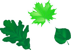 Leaves of the trees. oak, maple, linden Stock Image