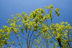Leaves of trees in summer sunlight against blue sky Stock Photo