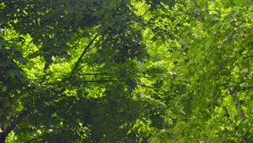 Leaves of trees - on a sunny summer day. Leaves of trees - maple and birch - on a sunny summer day stock video footage