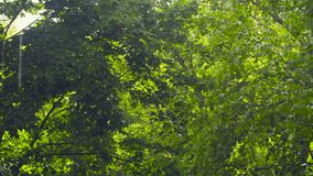 Leaves of trees - on a sunny summer day. Leaves of trees - maple and birch - on a sunny summer day. Rain stock video footage
