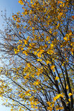 The leaves on the trees. The leaves turned yellow foliage in the park trees. Photo in the autumn season stock images