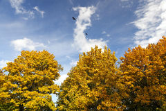 The leaves on the trees. The leaves turned yellow foliage in the park trees. Photo in the autumn season stock photos