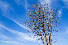 Leaves-less trees, white cloud and blue sky in winter Stock Photo