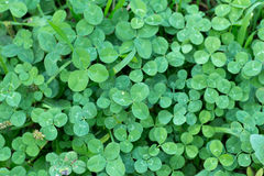 Leaves of Trifolium repens also known as White clover Stock Image