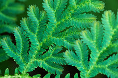 Leaves of tropical fern close up Stock Image