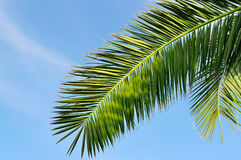 Leaves of tropical palm trees and  sky Stock Image