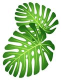 Leaves of tropical plant - Monstera. Royalty Free Stock Photos