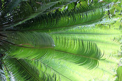 Leaves of tropical plant. The leaves of a tropical plant (photo taken in cuba royalty free stock image