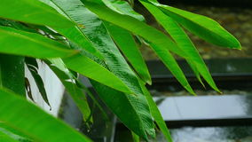 Leaves on tropical plant in rain. Raindrops on the leaves of tropical plant, slow motion stock footage