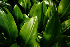 Leaves of a tropical plant. Several leaves of a tropical plant in sunlight Royalty Free Stock Photos