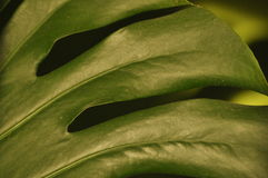 Leaves of tropical plants. Shadow Monsters reflecting Royalty Free Stock Images