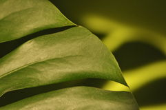 Leaves of tropical plants. Shadow Monsters reflecting Stock Photography
