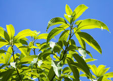 Leaves of tropical tree above blue sky Stock Photography