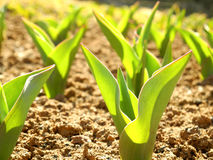 Leaves of tulips in the early spring. Green young leaves of tulips in a sunny weather in the early spring Royalty Free Stock Photography