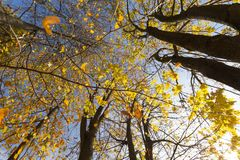 The leaves on the trees. The leaves turned yellow foliage in the park trees. Photo in the autumn season royalty free stock images